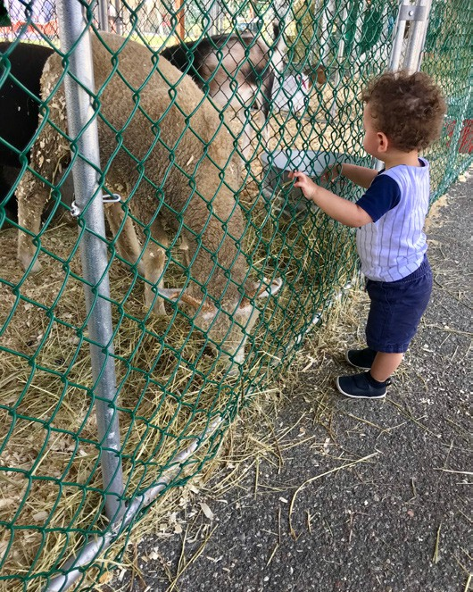 This youngster was fascinated by the sheep. As someone who has dealt with sheep close up on the farm, I was glad there was a fence. Photos here and below -- Douglas Cunningham